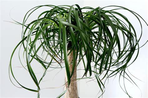 Australischer Flaschenbaum Zimmerpflanze australianischer flaschenbaum als zimmerpflanze 187 die