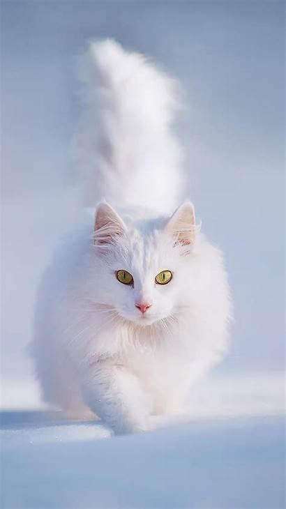 Cat Persian Snow Walk Wallpapers Apple 6s