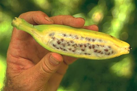 banana with seeds how to grow banana trees from seed the garden of eaden