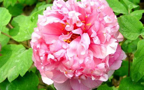 peony flower flowers romantic plants