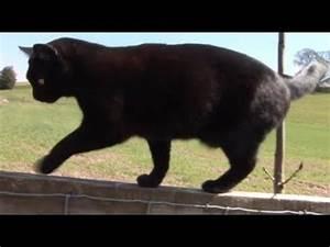Max, my three legged cat, walking on fence. - YouTube