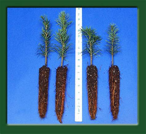 noble fir transplants kintigh s mountain home ranch top quality turkish fir seedlings