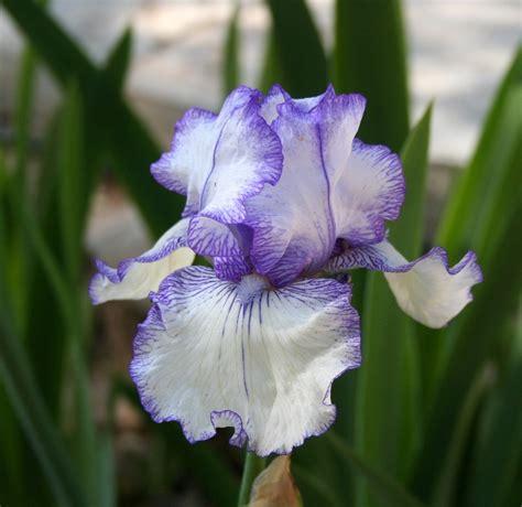 growing iris planting bulbs and sowing wildflowers