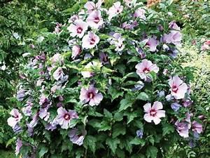 Les Plus Beaux Arbres Pour Le Jardin : quel hibiscus syriacus choisir ~ Premium-room.com Idées de Décoration