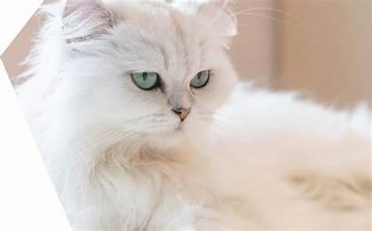Gato Persa Persian Cat Gatto Persiano Chat