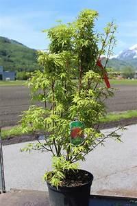 Japanischer Ahorn Im Kübel : hanf hnlich pflanzen bio cannabis ~ Michelbontemps.com Haus und Dekorationen