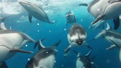Dolphins Dolphin Swimming Animated Animals Gifs Underwater