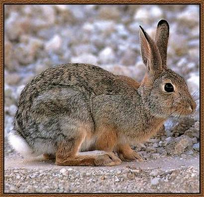 Rabbit Desert Cottontail Bunny Sylvilagus Animals Jack