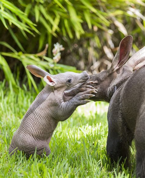 Fourth aardvark born at Busch Gardens | tbo.com