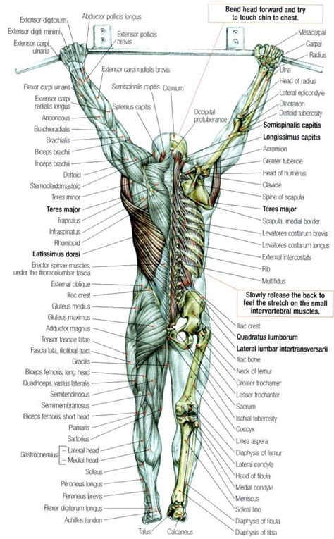This is a table of skeletal muscles of the human anatomy. 115 best images about Dem bones on Pinterest   Bones of the head, Human skull and Axial skeleton