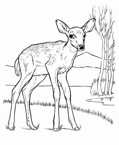 Deer Coloring Pages Animal Drawing Drawings Tail
