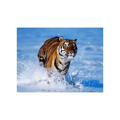 wallpapers: Bengal Tiger Wallpapers