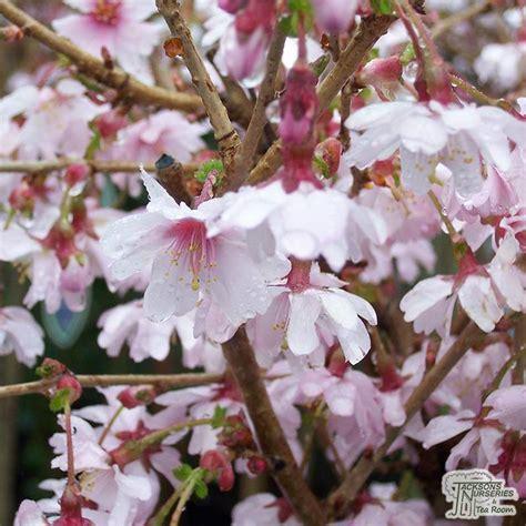 buy prunus incisa mikinori tree japanese cherry  uk