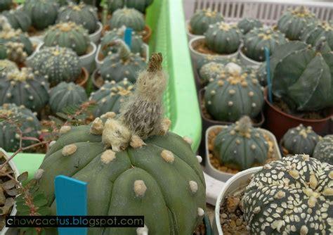 การผสมเกสรแคคตัส astrophytum   Chow Cactus