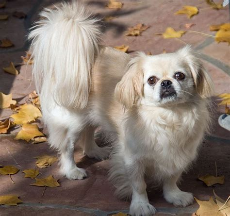 pekingese facts pictures price  training dog breeds