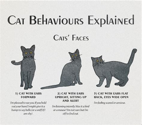 infographic cat behavior  body language explained