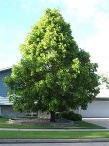 tree of the week american linden kramer tree specialists inc