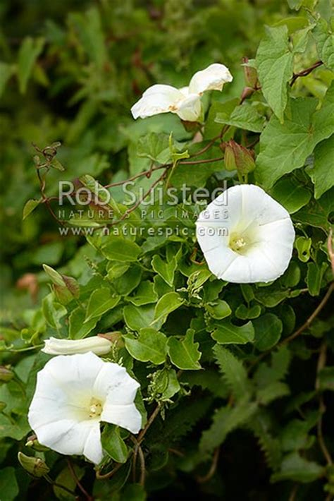 Great Bindweed (calystegia Silvatica), Climbing Perennial
