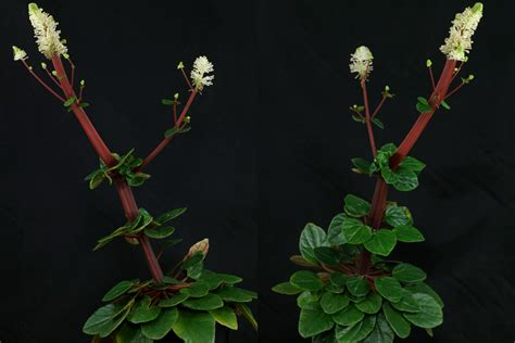 ivy leaf pepper peperomia fraseri