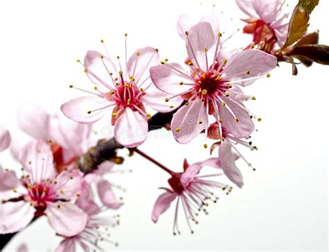 Blossoming Tree Branch With Pink Flowers Stock Image
