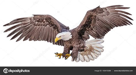 bald eagle flying swoop draw paint color white