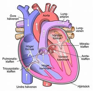 Cirkulationsfysiologi  U2013 Wikipedia