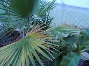 Palme Gelbe Blätter : washingtonia bekommt gelbe bl tter seite 1 palmen ~ Lizthompson.info Haus und Dekorationen