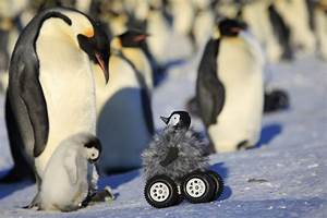 Baby Penguin Rover Sent to Spy On Real Penguins!