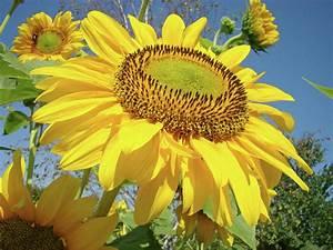 Bright Sunny Happy Yellow Sunflower 10 Sun Flowers Art ...