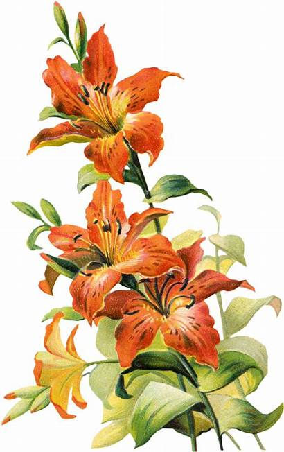 Flower Lily Tiger Flowers Version