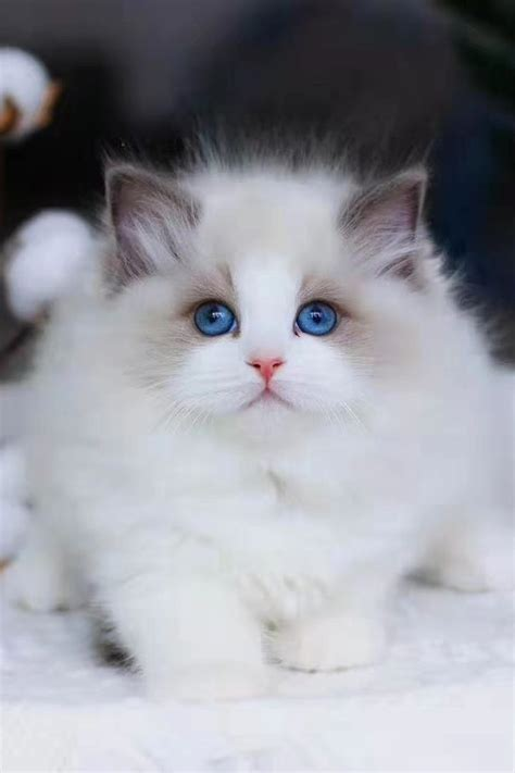 do ragdoll cats shed