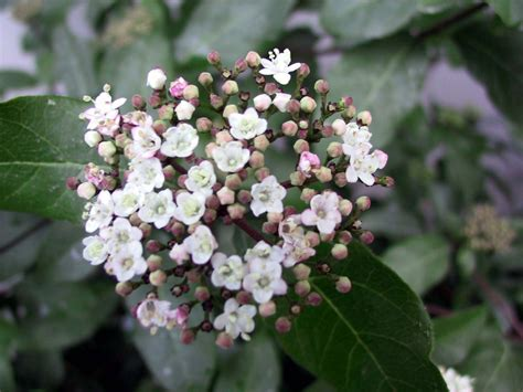 flower shrubs non flowering viburnums getting a viburnum shrub to bloom