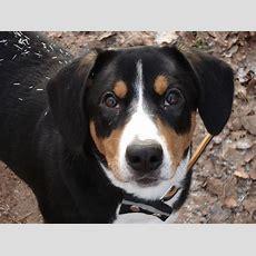 Schweizer Sennenhund Clipart Clipground