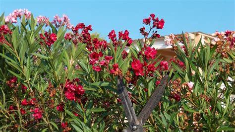 oleander schneiden wann oleander schneiden fr 252 hjahr oder sp 228 tsommer