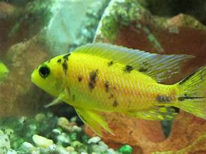 african cichlids species list Images - Frompo