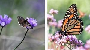 Larval Host Plants For Butterflies