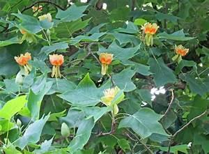 Das Marburger Online Magazin Blhender Tulpenbaum In Marburg