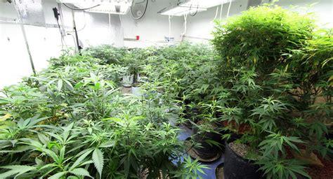 ce fran 231 ais o 249 il y a plus de cannabis que d habitants sputnik
