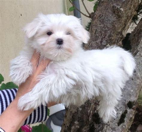 cours cuisine toulouse a donner bichon maltais mâle chiens animaux annonce