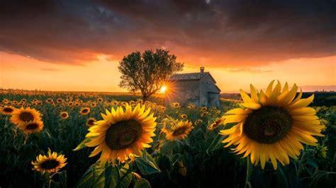 windows  sunflowers theme jetzt im microsoft store