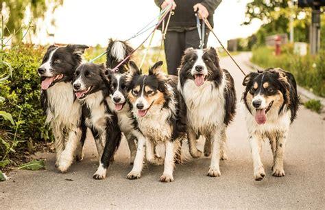 dog walker pet away being walked dogs caregivers finding must tips navigation