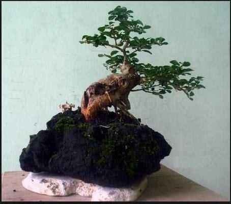 bonsai sisir cantik elegan bibit