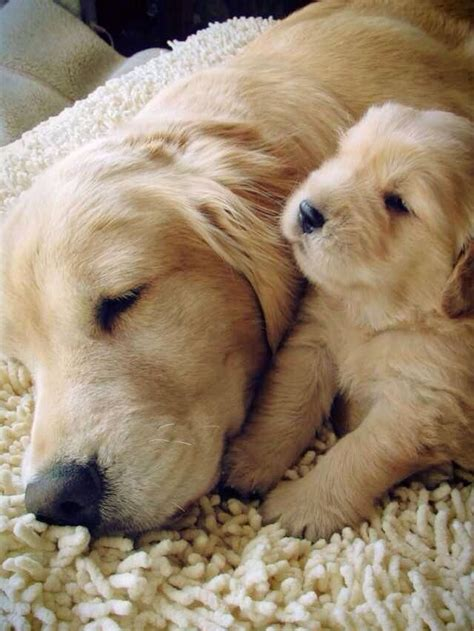 Golden Retriever And Pup ~ Classic Look Sweet Pictures