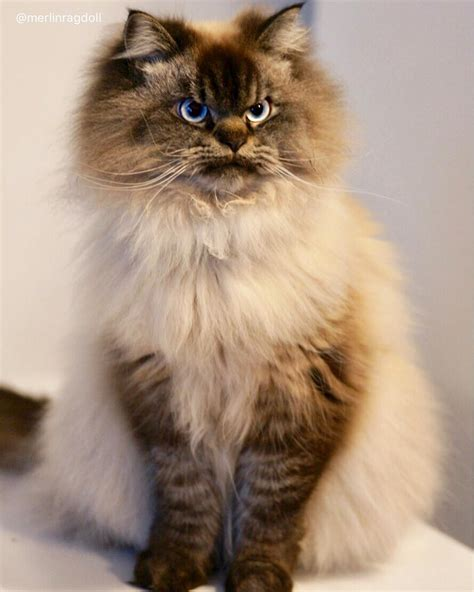meet merlin  ragdoll cat    pissed