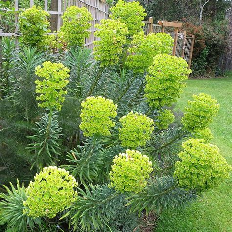 vente euphorbia characias wulfenii euphorbe des vallons