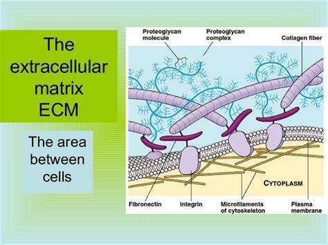 ap bio ch  part   extracellular matrix