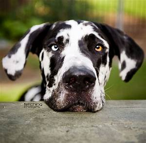 The 10 Worst Things About Having Great Danes – Pinsit