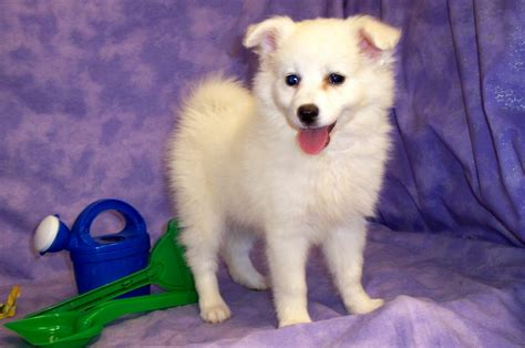 American Eskimo Dog Wallpapers High Quality Download Free