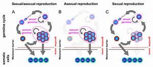 Asexual and sexual germlines. (A) Animals capable of both ...