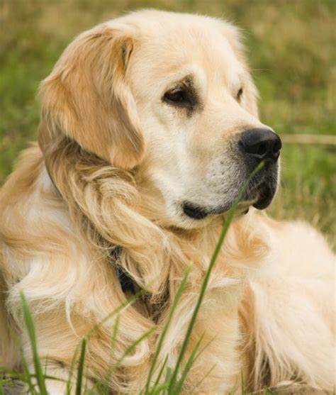10 facts about golden retrievers 10 cool facts about golden retrievers